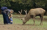 Rothirsch, Rot-Hirsch, Rotwild, Edelwild, Edelhirsch, Hirsch, Männchen wird im Wildpark gefüttert, Cervus elaphus, red deer