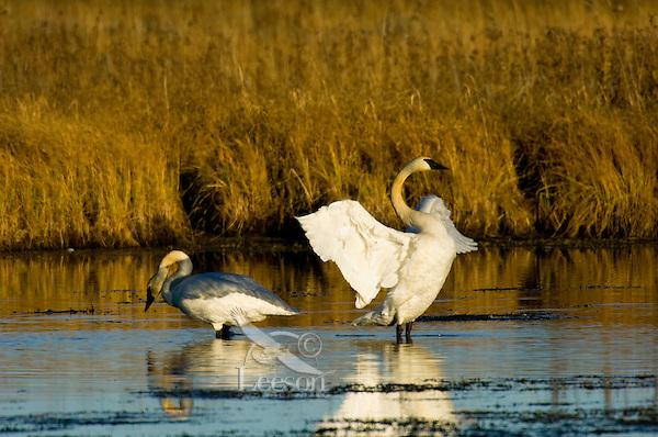 Trumpeter swans (Cygnus buccinator).  Western U.S.