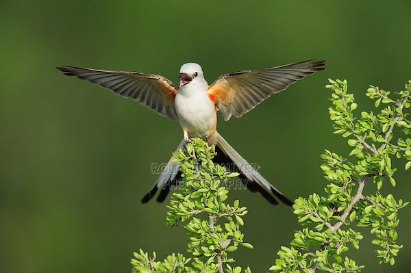 Scissor-tailed Flycatcher (Tyrannus forficatus), adult female singing on perch, Laredo, Webb County, South Texas, USA