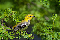 Black-throated Green Warbler, South Padre Island, Texas