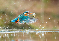 common kingfisher, Eurasian kingfisher, or river kingfisher, Alcedo atthis, hunting, coming out of the water with a fish prey in its beak, Kirckudbright, Scotland