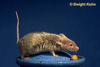 MU60-032z  Pet Mouse - exploring