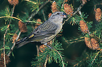 Red Crossbill, Loxia curvirostra,female eating on cones of European Larch (Larix decidua) , Unteraegeri, Switzerland, Oktober 2004