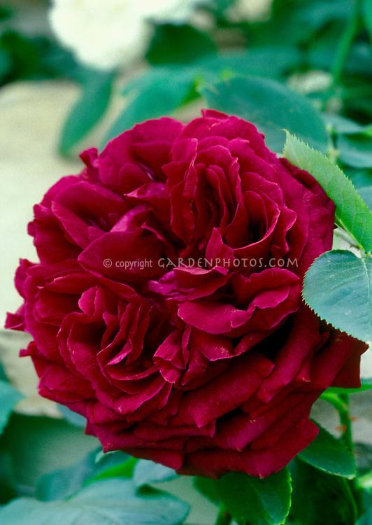 Rosa 'Munstead Wood' David Austin deep red roses, double crimson shrub rose aka Ausbernard, English roses