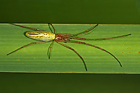 Gemeine Streckerspinne, Tetragnatha extensa, Long-jawed spider, long-jawed orb weaver