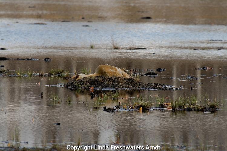 Sandhill Crane - attempting to hide her nest