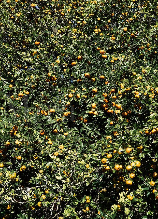 Orange tree with abundent fruit, Florida, USA