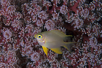 golden sergeant easily recognised species because of the yellow colouration and deep shaped body, Amblyglyphidodon aureus, up to 12cm, Wakatobi Marine National Park, Tukangbesi Archipelago, south east Sulawesi, Indonesia, Pacific Ocean