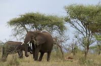 TANZANIA, Serengeti Nationalpark, herd of african elephants