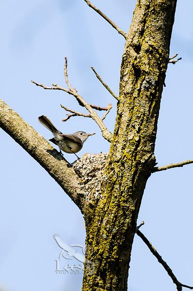 Male Blue-gray Gnatcatcher (Polioptila caerulea) on nest. Great Lakes region. May.