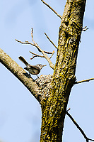 Male Blue-gray Gnatcatcher (Polioptila caerulea) on nest. Great Lakes region. May.