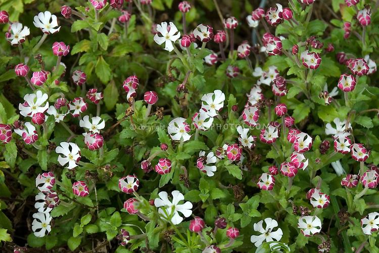 Zaluzianskya capensis in fragrant flower bloom, night scented plant