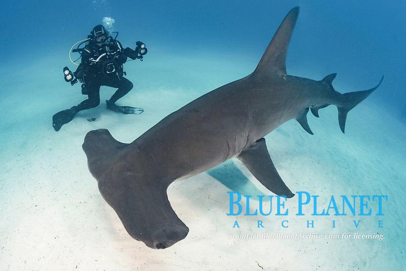 great hammerhead shark - Sphyrna mokarran - with diver near South Bimini Island, Bimini, Bahamas, Caribbean Sea, Atlantic Ocean