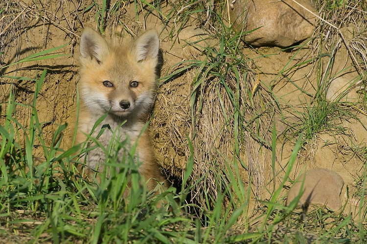 Red Fox Kit poking its head out of its den