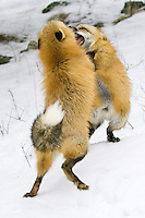 Pair of fox kits sparing for dominance - CA
