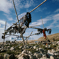 strips of narwhal, Monodon monoceros, meat hanging out to dry on a meat rack. Qaanaaq. NW Greenland, Arctic