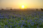 Bluebonnet Dawn
