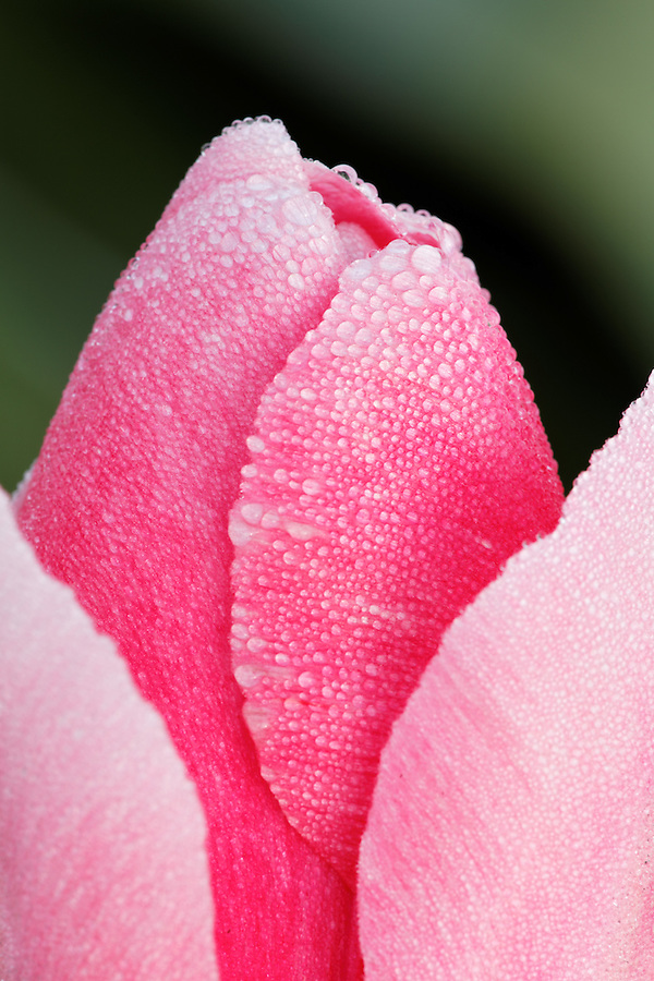 Close-up of single pink tulip blossom covered in morning dew drops, Mount Vernon, Skagit Valley, Skagit County, Washington, USA