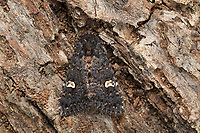 Flohkraut-Eule, Flohkrauteule, Schwarze Garteneule, Schwarze Garten-Eule, Knötericheule, Knöterich-Eule, Blumeneule, Blumen-Eule, Melanchra persicariae, Polia persicariae, Mamestra persicariae, dot moth, Eulenfalter, Noctuidae, noctuid moths, noctuid moth