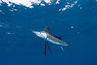pelagic Atlantic sailfish, Istiophorus albicans, (considered by some to be a single species with Istiophorus platypterus), bites a hookless teaser bait, Yucatan Peninsula, Mexico (Caribbean Sea) near Contoy Island, Isla Mujeres, Cozumel, Cancun