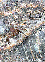 0520-1113  Ground Crab Spider, Camouflaged on Bark, Xysticus funestus  © David Kuhn/Dwight Kuhn Photography