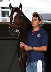 October 22, 2015:  Untapable schools in the paddock during the 3rd race, trained by Steven Asmussen, and owned by Winchell Thoroughbreds LLC, is entered in the Breeder's Cup Longines Distaff Grade 1 $2,000,000.  Candice Chavez/ESW/CSM