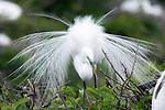 Great Egret displaying plummage, Wakhodahatchee