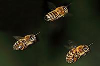 Honigbiene, Honig-Biene, Europäische Honigbiene, Westliche Honigbiene, im Flug, fliegend, Biene, Bienen, Apis mellifera, Apis mellifica, honey bee, hive bee, western honey bee, European honey bee, bee, bees, L'abeille européenne, l'avette, la mouche à miel