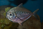 Ameican Butterfish swimming left