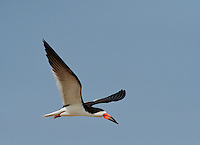 Black Skimmer (Rynchops niger), adult in flight, Port Isabel, Laguna Madre, South Padre Island, Texas, USA