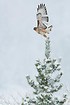 red-tailed hawk, Buteo jamaicensis, in flight, snowy day, May, Rocky Mountain National Park, Colorado, USA