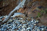 Hawaiian monk seal, Neomonachus schauinslandi, Kohala Coast, Big Island, Hawaii, USA