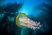 A large Sea nettle, Chrysaora fuscescens, swims along the edge of a kelp forest. It hunts planktonic organisms by trailing long tentacles laden with stinging cells. Monterey Bay, California, USA, East Pacific Ocean