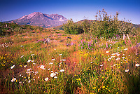 Oxeye Daisy (Leucanthemum vulgare or Chrysanthemum leucanthemum), Birdsfoot Trefoil (Lotus corniculatus), Foxglove (Digitalis purpurea) and Other Wildflowers and Grasses, Mt. St. Helens National Volcanic Monument, Washington, US, August 2005