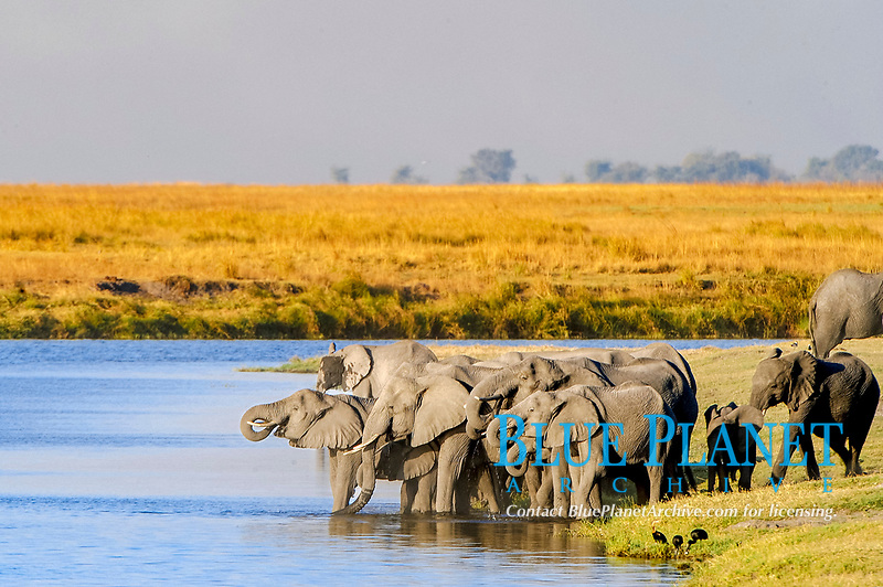 African Bush Elephants (Loxodonta africana) at the water's edge, Chobe National Park, Kasane, North-West District, Botswana, Africa