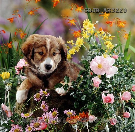 Kim, ANIMALS, dogs, photos(GBJBAK3220,#A#) Hunde, perros ,puzzles