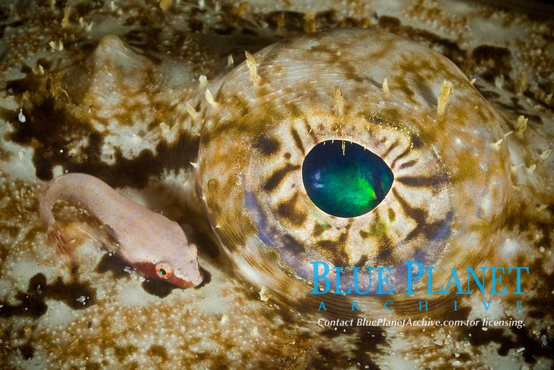Two-spotted clingfish, Diplecogaster bimaculatus, and eye of Anglerfish, Lophius piscatorius, Øygarden, Hordaland, Norway, North Atlantic Ocean