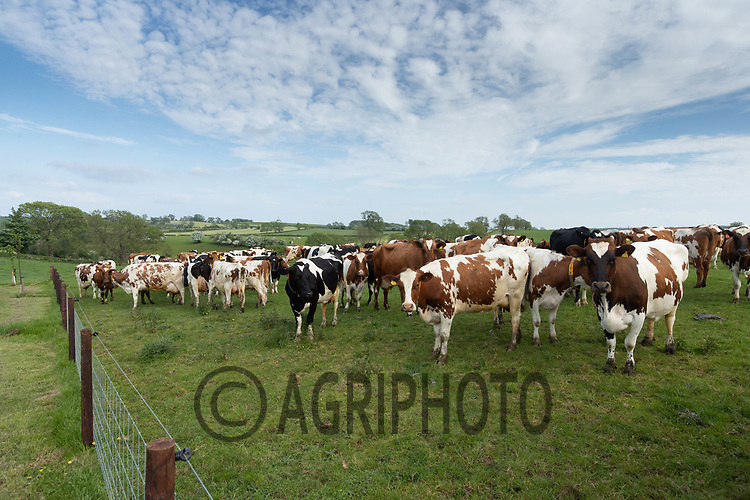 3-6-2021 Dairy cows out at grass after milking <br /> ©Tim Scrivener Photographer 07850 303986<br />      ....Covering Agriculture In The UK....