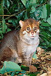 The flat-headed cat is named for its long, sloping forehead, Borneo, Malaysia