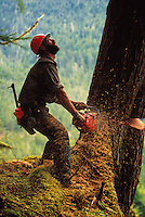 A logger looks up at a falling tree as he uses a chainsaw to cut it down. Alaska.