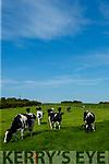 Cows on the Mason Farm in Ballyseedy