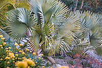 Bismarck Palm (Bismarckia nobilis), silver gray foliage small tropical palm tree in Southern California garden