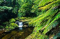 Forest stream at Kaimai-Mamaku Forest Park - Hauraki Plains, New Zealand