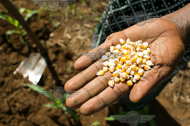 Molly Nanyomo (52), holds a handful of maize which she is planting in her field.