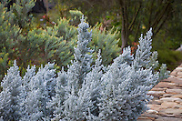 Maireana sedifolia, Pearl Bluebush, silver, gray foliage shrub; Australian Native Plant Nursery, Ventura, California