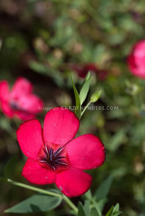 Linum grandiflorum rubrum, Scarlet Flax