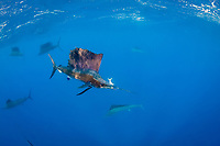 Atlantic sailfish, Istiophorus albicans, with Spanish sardine, Sardinella aurita, in mouth, off Yucatan Peninsula, Mexico (Caribbean Sea), is barely starting to switch in to excited color phase just after snatching fish, #1 in sequence of 3 images
