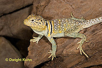 1R17-517z  Collared Lizard, Male, Crotaphytus collaris