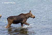 MS08-503z   Calf Moose, 2 months old following its mother into a Maine pond, Alces alces.