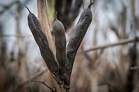 Winter beans in pod ready for harvest - September